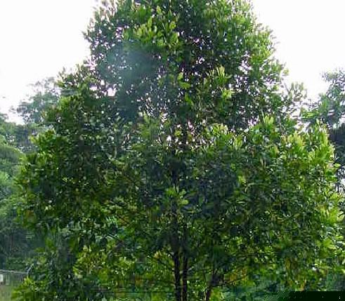 Nama saintifik bagi bunga cengkih ialah Eugenia aromatica.