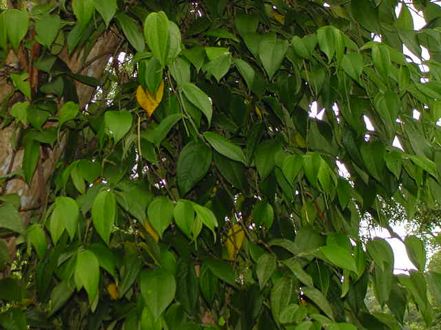 4000+ Gambar Daun Sirih Hutan HD Paling Baru